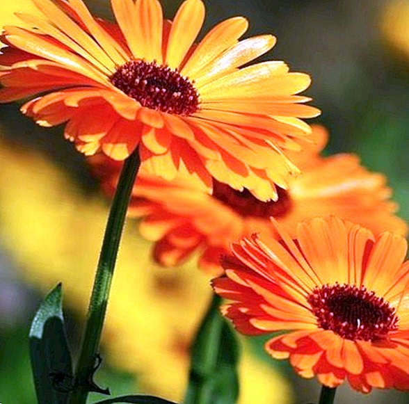 Benefits and properties of calendula for skin and beauty