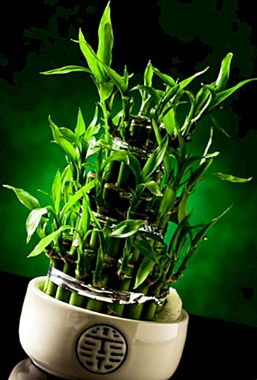 Why decorate spaces with lucky bamboo and how to choose it - curiosities