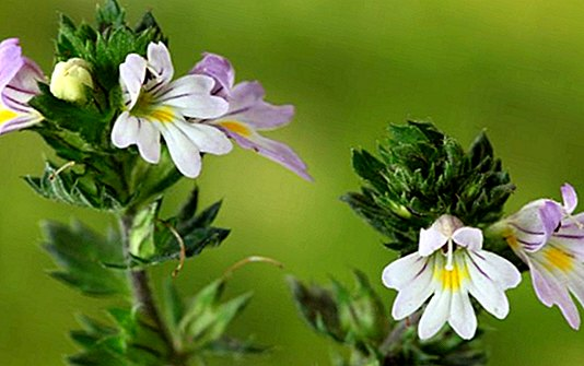 Euphrasia for the health of your eyes: benefits and how to make home eye drops - curiosities