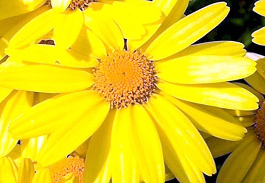 Arnica Montana: properties to relieve muscle aches - curiosities