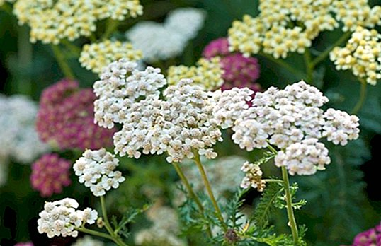 Yarrow: discover its properties, remedies and contraindications - curiosities
