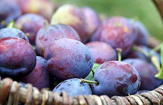 nutrition and diet - Plums: benefits and properties. Ideal for constipation