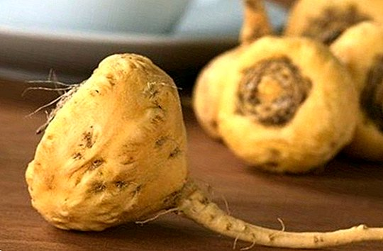 Meet the maca, powerful plant with benefits for men and women - nutrition and diet