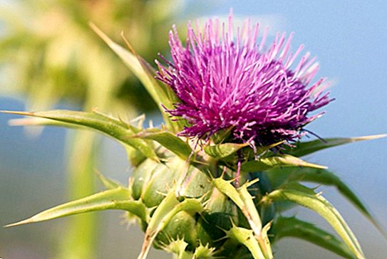 Milk thistle: benefits, properties and contraindications - nutrition and diet