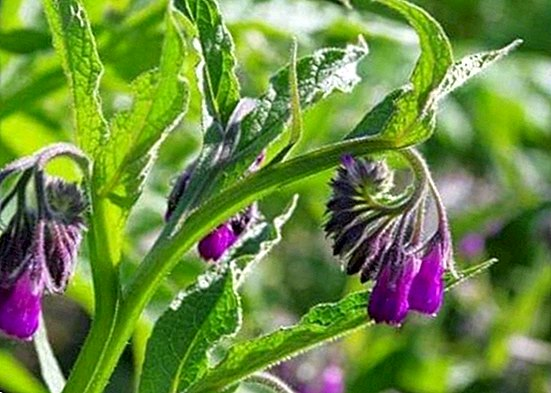 Home remedies with comfrey