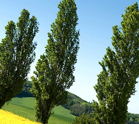 Do you know the black poplar? Its medicinal benefits and properties