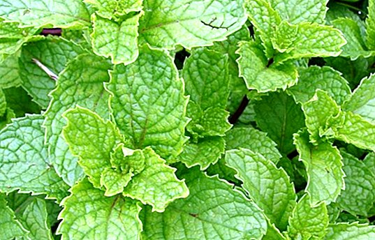 5 benefits of peppermint and how to make the infusion