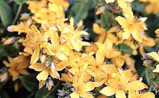 How to make a decoction of agrimony - Natural medicine