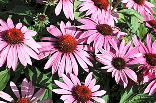इन्फ्लूएंजा के लिए Echinacea: गुण और लाभ
