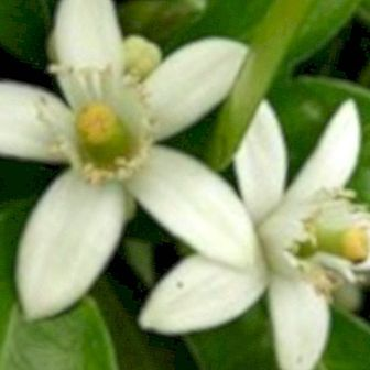 Orange blossom honey: properties and benefits
