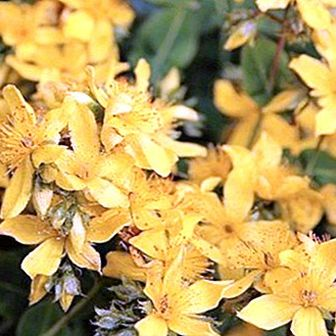 How to make a decoction of agrimony