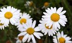 Benefits of chamomile for the skin