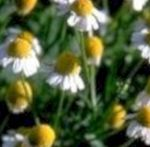 Chamomile: good for the stomach - nutrition and diet