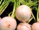 Turnip: benefits and properties