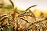Did you know that wheat worsens chronic and autoimmune diseases? - nutrition and diet