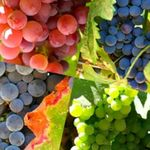 Grapes: good for vision - nutrition and diet