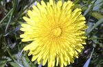 How to make a dandelion infusion - Natural medicine
