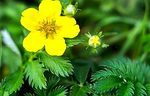 Potentilla: medicinal benefits, remedies and contraindications - Natural medicine