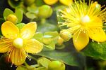 St. John's Wort: benefits, properties and how to make the infusion