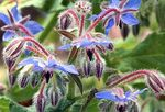 Borage infusion: recipe, healing benefits and contraindications